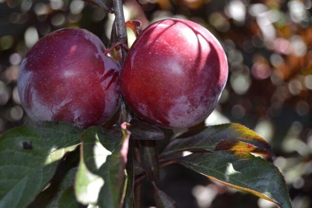 5 cuttings fresh.RED CHERRY PLUM TREE PRUNUS CERASIFERA// PISSARDII NIGRA