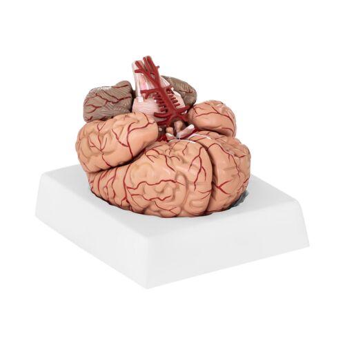 Modello Anatomico Cervello Con Arterie In Scala 1:1 9 Pezzi Plastica Sintetica