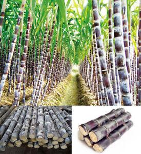 Succulent-Sugar-Cane-Seeds-Delicious-Vegetable-Fruit-Seeds-sugarcane-Seed-Health