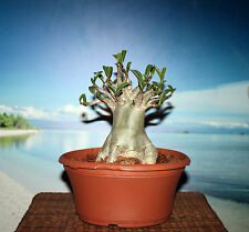 ADENIUM PLANT DESERT ROSE ARABICUM THAI SOCO DIAMOND CROWN #520 NICE FOR BONSAI