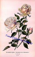 Botanical Illustration Of Bourbon Rose (souvenir De La Malmaison) Poster-3 Sizes