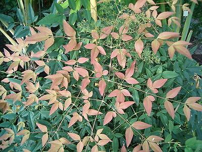 Il Cielo Bellissima Mostra Bambù Colori Stupendi Con Le Sue Foglie!-mostra Il Titolo Originale