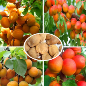 Am-FP-10Pcs-Sweet-Apricot-Seeds-Tree-Rare-Fruit-Bonsai-Plant-Home-Garden-Decor
