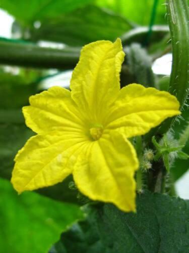20 Cire Calebasse Hiver Melon Blanc Ash Benincasa Hispida Légumes Graines Peigne