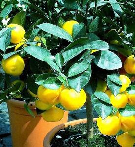 Jungpflanze-Winterharter-Orangenbaum-bis-25-Grad-fuer-den-Garten-Palme-Deko