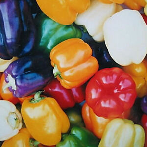 NON-GMO-Heirloom-BELL-PEPPER-SEED-MIX-Capsicum-SWEET-Red-Orange-Yellow-Purple