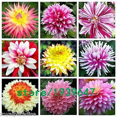 25 Seeds Mixed Decorative Dahlia Mixed Seeds Beautiful Flower Garden Seeds