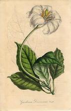 Stampa antica FIORI GARDENIA devoniana botanica 1847 Old antique print flowers