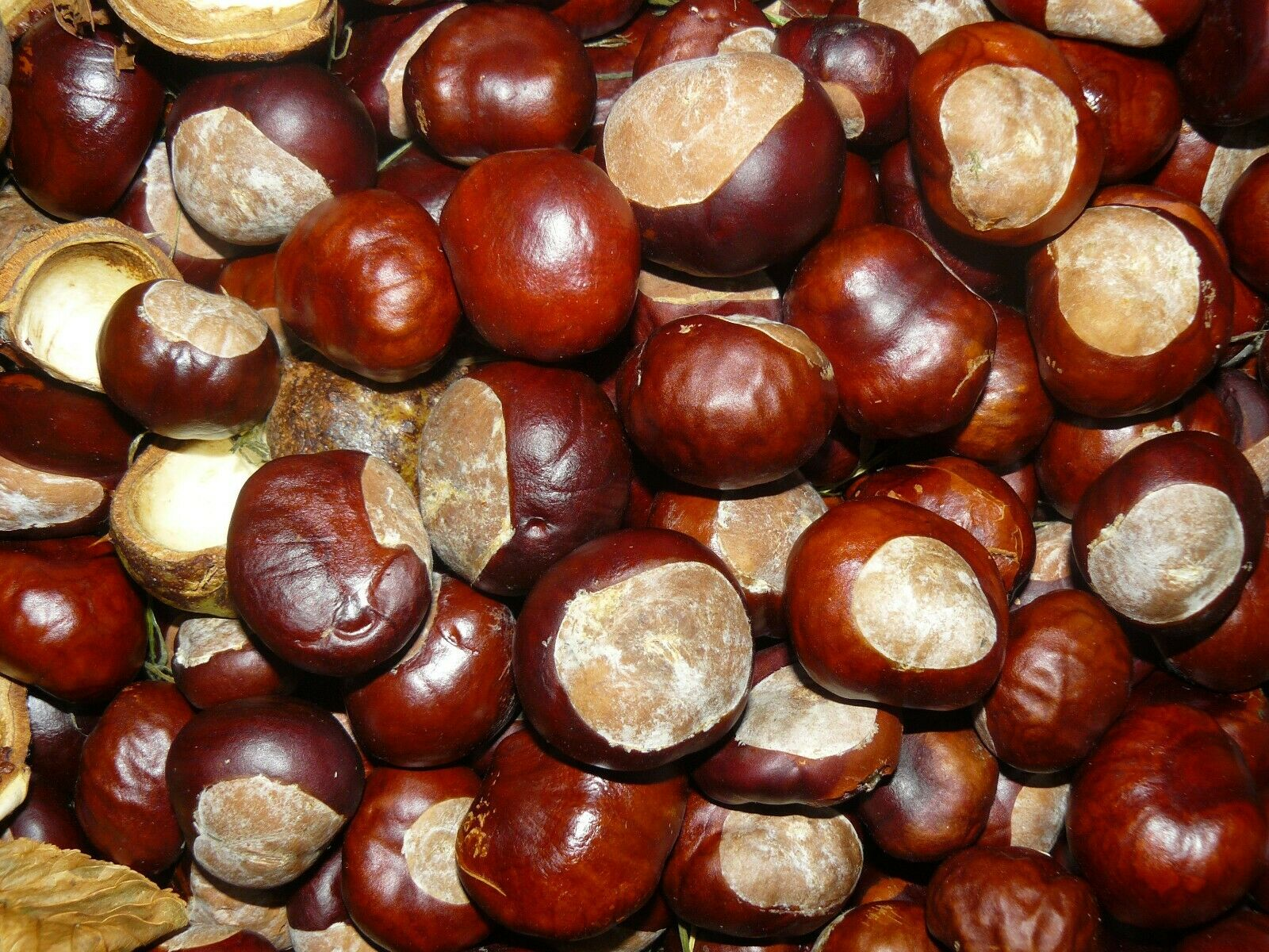 50 CONKERS HORSE CHESTNUTS SPIDER DETERRENT BRAND NEW ON **now being picked **
