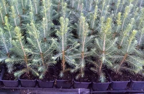 10 x Blaufichte Picea pungens glauca blue Topf 10-15 cm