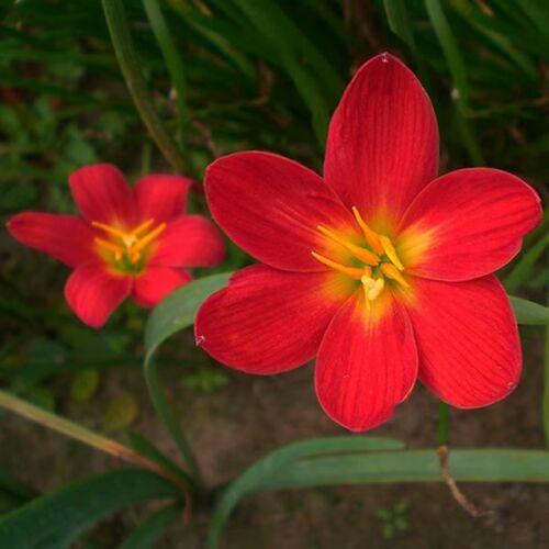 Home Comfort Laminated Poster Zephyranthes Grandiflora Rain Lily Bulbs Decor