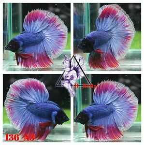 [136_A3]Live Betta Fish High Quality Male Fancy Over Halfmoon 📸Video Included📸