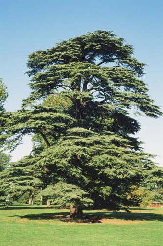 Trees In 9cm Pot Ideal Bonsai Subject Cedar Of Lebanon Cedrus Libani Garden Patio Breadcrumbs Ie