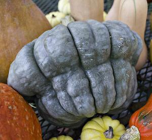 Pumpkin  QUEENSLAND BLUE-Pumpkin Seeds-ICONIC LOCAL HEIRLOOM-20 SEEDS