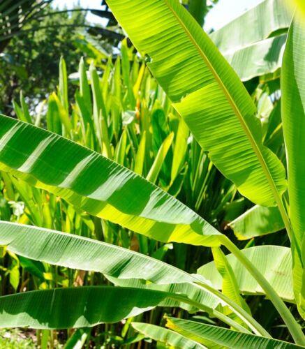 10 Graines de Bananier du Cheesman /'Musa Cheesmanii/'  Hardy Banana seeds