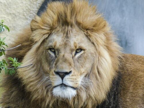 LION WILDLIFE POSTER PRINT 27x36 HI RES 9MIL PAPER
