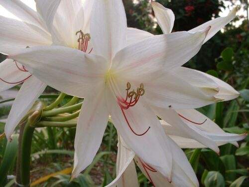 NEW very tall digweedii /'Gonzalez/' Crinum Lily Large blooming-size bulb