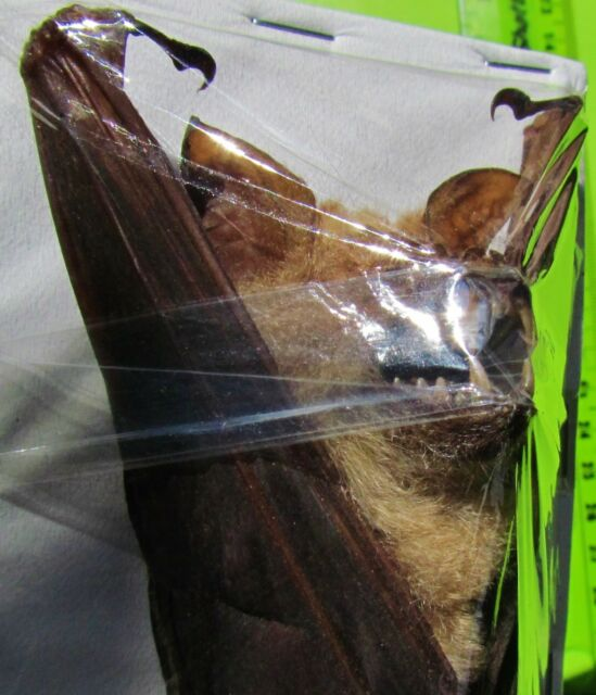 Lot of 5 Diadem Roundleaf or Leaf-nosed Bat Hipposideros diadema FAST FROM USA