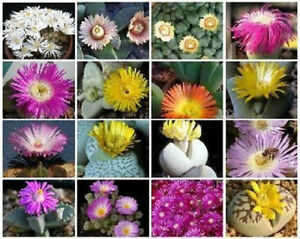 Mesembs-VARIETY-MIX-exotic-rare-succulent-cactus-ice-living-stone-seed-50-SEEDS