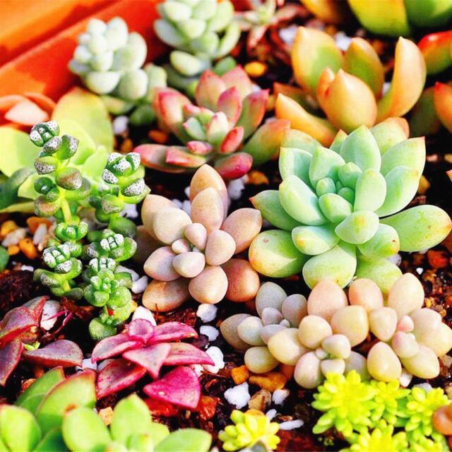 400pcs Mixed Succulent Seeds Lithops Living Stones Plants Cactus Home Plant SALE