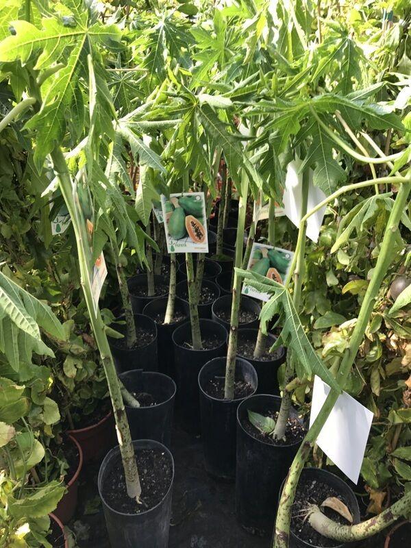 papaya melonenbaum papayapflanze papayabaum carica papaya