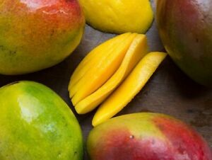Grafted-Mango-Live-Fruit-Tree-kent-Variety-2-3-Tall