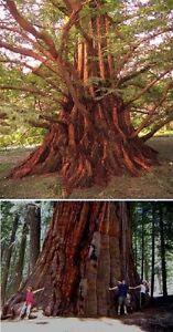 Berg- & Urweltmammutbaum - Samen-Set ♥ Originelle besondere ...