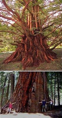 auch als Bonsai geeignet Der Bergmammutbaum wunderschön im Garten