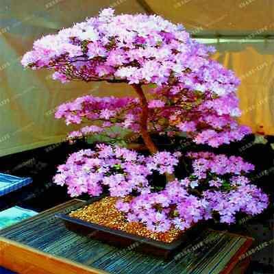 Japanese Sakura Flowering Cherry Blossom Tree 5 Seeds Bonsai Prunus sargentii