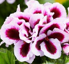 5Pcs Geranium Flower Seeds Pelargonium Cranesbill 20 Kinds Plant for Home Garden