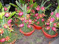 Dragon Fruit–Pitaya - Edible- easy growing houseplant! Cacti/succulent indoor