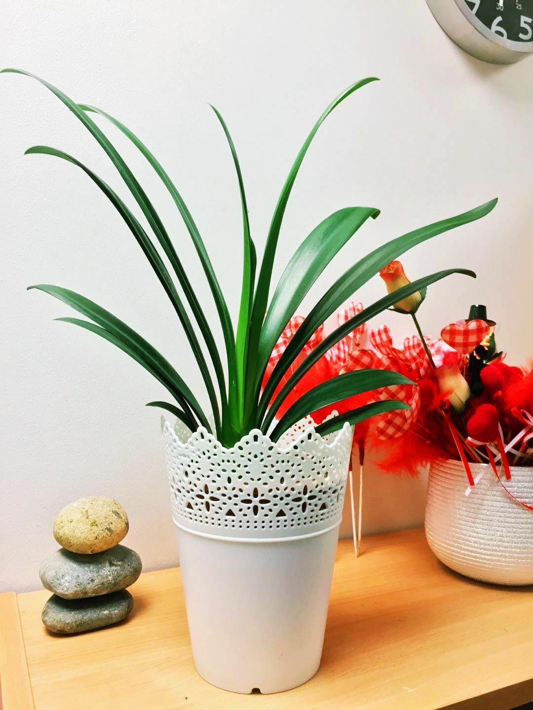 1 Evergrön Natal Bush Lily Clivia Office House Plant @ Vintage Floral vit Pot