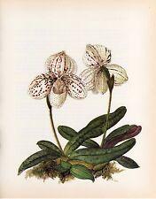 Vintage Botanical Print Orchid Flower Wall Art ~ Paphiopedilum godefroyae (O106)