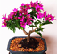 100Pcs-Bougainvillea-Flower-Seeds-Rare-Colorful-Bonsai-Pereninal-Garden thumbnail 7