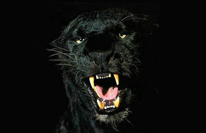 framed print black jaguar animal picture poster panther tiger