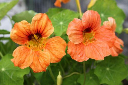 edible dwarf nasturtium seeds PEACH MELBA good as groundcover approx. 8 1g