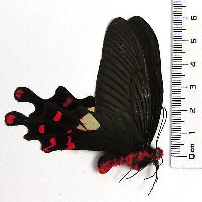 5 unmounted butterfly byasa polyeuctes polyeuctes A1  A1