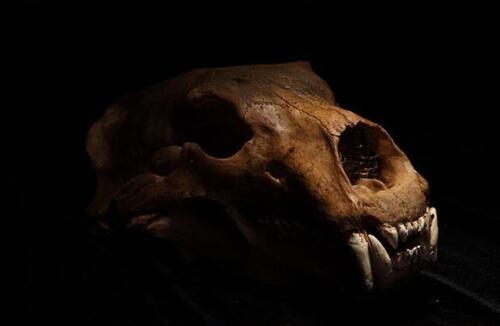 Polar Bear 1:1 Skull Model Faux Taxidermy Replica Toy Home Decor Collectibles