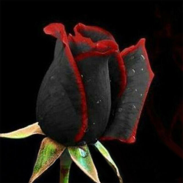 50Pcs/Pack Rare Black Rose with Red Edge Seeds Home Garden Plant Flower Seed~ Bg