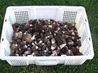 Morel-dried-mushrooms- Burns 4.1oz. 2017-blue Mountains Of Eastern Oregon