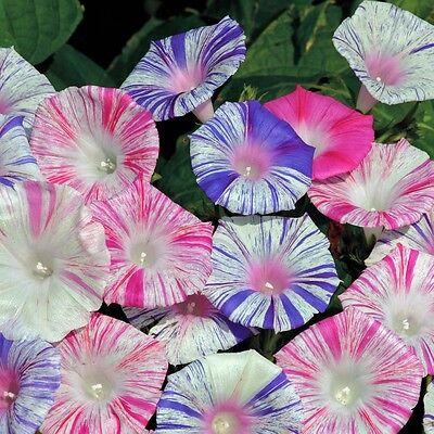 FLOWER MORNING GLORY IPOMOEA PURPUREA CARNEVALE DI VENEZIA 800 SEEDS