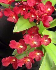 "Leomesezia (Howeara) Lava Burst 'Puanani'  Orchid Seedlings 2-3"", EASY growing"