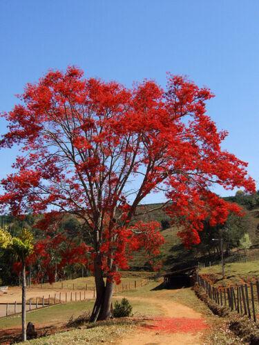 Erythrina Falcata 5 Samen Corallodendro Brasilien Brasilian Koralle Tree Seeds
