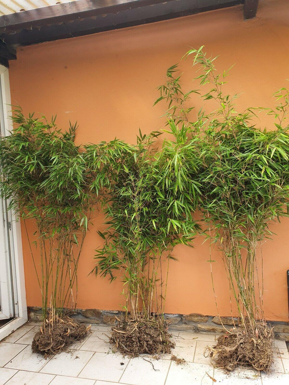 3 Stck. Bambus Fargesia Rufa 150cm Bambuspflanze Bambushecke