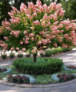 Details About Fall Planting Breathtaking Live Strawberry Sundae Hydrangea Tree Bonus