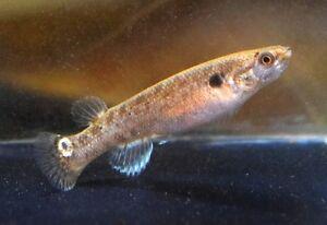 2-two-Hermaphroditic-Females-of-Kryptolebias-marmoratus-039-Dangriga-039-Killifish