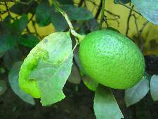 Live gandharaj lemon plant 1 feet hieght with poly pack,O-307