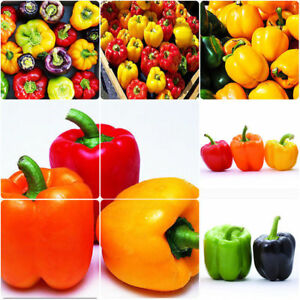 VEGETABLE-SWEET-PEPPER-BELL-MIX-20-SEEDS-White-Yellow-Red-Green-Purple