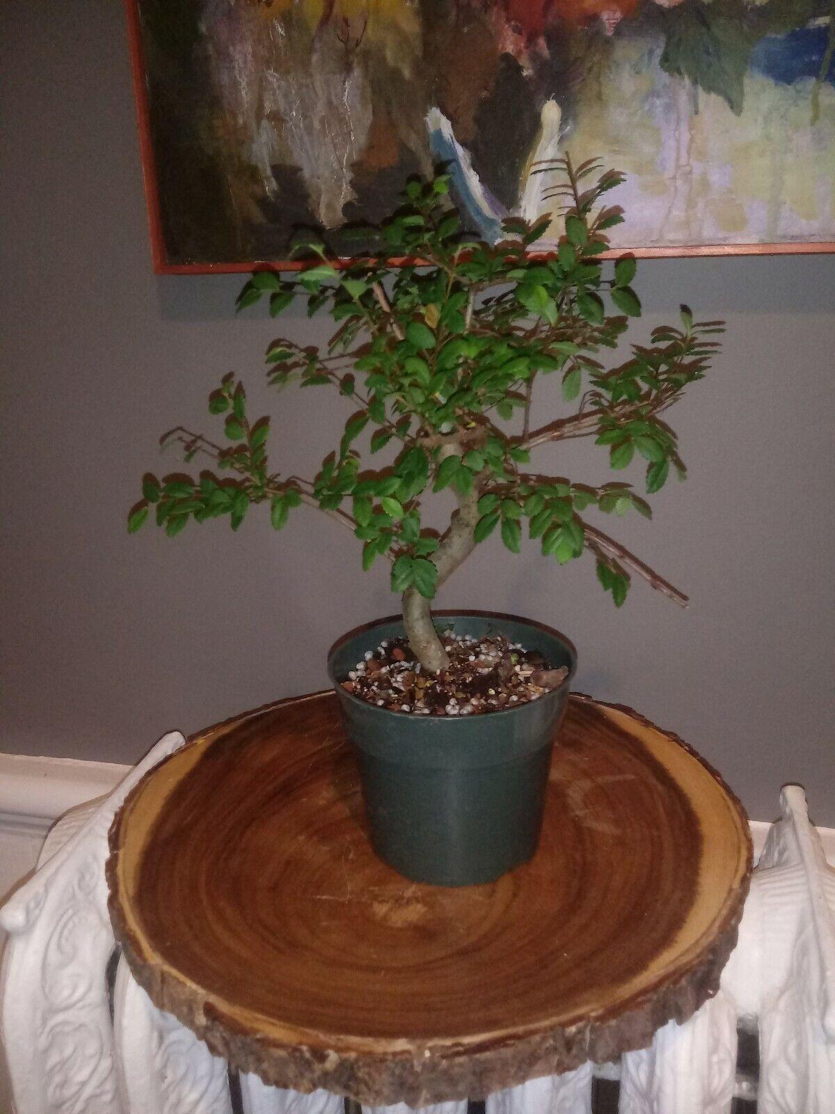 Chinese Elm Bonsai For Sale Online Ebay