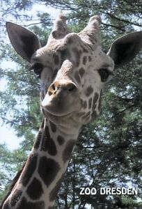 Ansichtskarte-Netzgiraffe-034-Ulembo-034-Zoo-Dresden
